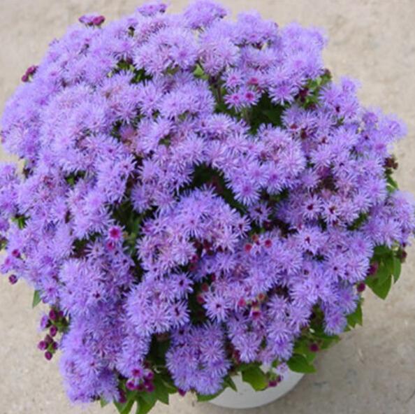 100-шт-пакет-агератум-семена-в-горшке-семян-цветок-семян-разнообразие-полное-начинающего-скорость-95-