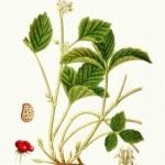 Rubus-saxatilis-5