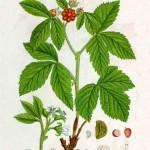 Rubus-saxatilis-6
