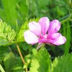 q_Rubus1